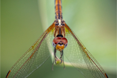 Senior-and-Evening-winner-Dragonfly-Close_up-©Herman-Olivier